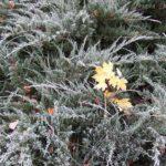 Кленовый листок замерз